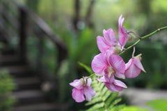 Flor rosada en fondo del jardín, flor rosada de la orquídea Foto de archivo