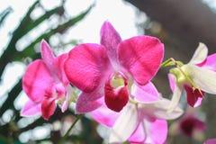 Flor rosada en fondo del jardín, flor rosada de la orquídea Imagen de archivo libre de regalías