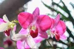 Flor rosada en fondo del jardín, flor rosada de la orquídea Fotos de archivo libres de regalías