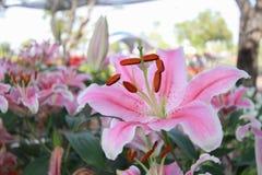 Flor rosada en fondo del jardín, flor rosada del lirio Foto de archivo libre de regalías