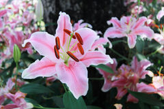Flor rosada en fondo del jardín, flor rosada del lirio Fotos de archivo