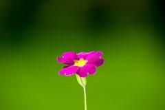 Flor rosada en fondo verde de la naturaleza Fotografía de archivo libre de regalías