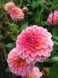 Flor rosada en jardín Imagen de archivo libre de regalías