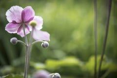 Flor rosada en jardín Imágenes de archivo libres de regalías
