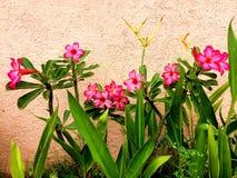 Flor rosada en la pared rosada Fotografía de archivo