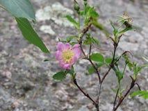 Flor rosada en las montañas rocosas Imagen de archivo libre de regalías