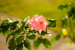 Flor rosada en Montenegro foto de archivo