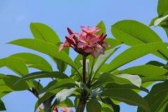 Flor rosada en un árbol Imagenes de archivo