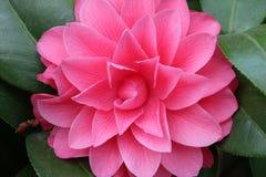 Flor rosada, flor del té de la camelia Fotos de archivo libres de regalías
