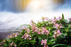 Flor rosada fresca delante de la cascada en el mar lluvioso de la selva tropical Fotos de archivo