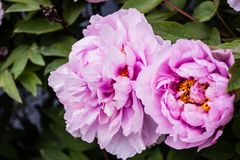 Flor rosada fresca hermosa abeja-espigada por la abeja Imagenes de archivo