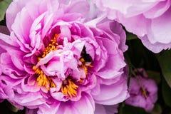 Flor rosada fresca hermosa abeja-espigada por la abeja Imagen de archivo libre de regalías