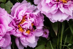 Flor rosada fresca hermosa abeja-espigada por la abeja Imagen de archivo