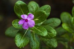 Flor rosada fresca para arriba con la naturaleza fotografía de archivo