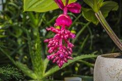 Flor rosada grande brillante colgante de la flor jugosa y colorida Imagen de archivo libre de regalías