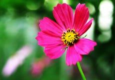 Flor rosada hermosa Foto de archivo libre de regalías