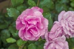 Flor rosada hermosa Imagenes de archivo