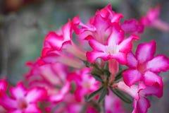 Flor rosada hermosa Imágenes de archivo libres de regalías