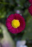 Flor rosada hermosa con el centro amarillo Imágenes de archivo libres de regalías