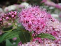 Flor rosada hermosa de la azalea Fotos de archivo