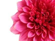 Flor rosada hermosa de la dalia en el fondo blanco fotos de archivo