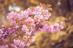 Flor rosada hermosa de la flor de cerezo en la plena floración Fotos de archivo libres de regalías
