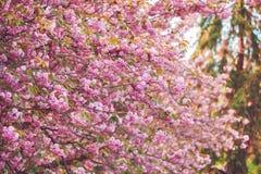 Flor rosada hermosa de la flor de cerezo en la plena floración Imágenes de archivo libres de regalías