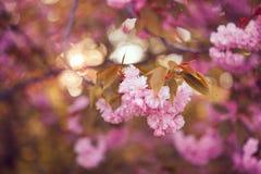 Flor rosada hermosa de la flor de cerezo en la plena floración Fotos de archivo