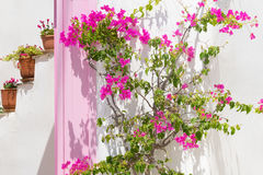 Flor rosada hermosa de la hiedra contra una puerta rosada y potes en la isla de Paros en Grecia Fotos de archivo libres de regalías