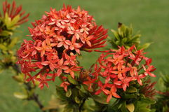 Flor rosada hermosa de la isla hawaiana Fotografía de archivo libre de regalías