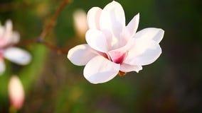 Flor rosada hermosa de la magnolia