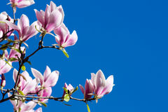 Flor rosada hermosa de la magnolia imágenes de archivo libres de regalías