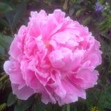 Flor rosada hermosa de la peonía en la floración Foto de archivo