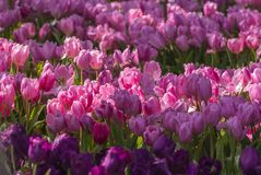 Flor rosada hermosa de los tulipanes en fondo de la naturaleza fotografía de archivo libre de regalías