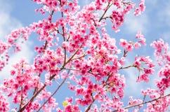 Flor rosada hermosa de Sakura con el cielo azul Fotos de archivo libres de regalías