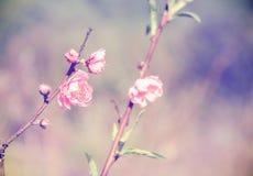 Flor rosada hermosa de Sakura en estilo del vintage Fotos de archivo