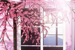 Flor rosada hermosa de Sakura de la flor de cerezo, y con el fondo del edificio de Japón del vintage fotografía de archivo libre de regalías