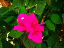 Flor rosada hermosa del bougaville Imagen de archivo libre de regalías