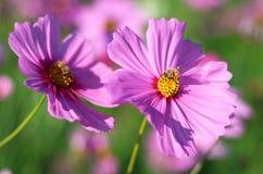Flor rosada hermosa del cosmos que florece en jardín mientras que puesta del sol con la abeja Fotos de archivo