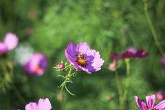 Flor rosada hermosa del cosmos que florece en jardín mientras que puesta del sol con la abeja Imágenes de archivo libres de regalías