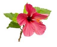 Flor rosada hermosa del hibisco Imágenes de archivo libres de regalías
