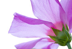 Flor rosada hermosa del hibisco contra el sol Fotografía de archivo