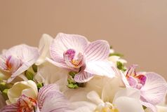 Flor rosada hermosa del lirio aislada en el fondo blanco Cierre para arriba Foto de archivo
