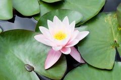 Flor rosada hermosa del lirio de agua Foto de archivo libre de regalías