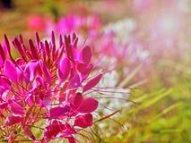 Flor rosada hermosa en el jardín con la llamarada ligera Imagen de archivo