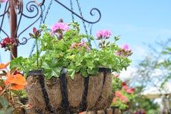 Flor rosada hermosa en el pote Foto de archivo libre de regalías