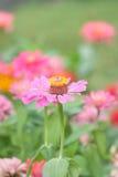 Flor rosada hermosa en jardín Fotos de archivo