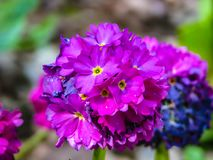 Flor rosada hermosa en la bola en día soleado fotografía de archivo