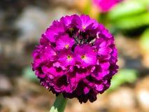 Flor rosada hermosa en la bola en d?a soleado imagen de archivo libre de regalías