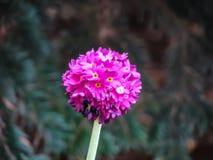 Flor rosada hermosa en la bola en d?a soleado fotos de archivo libres de regalías